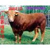 供应长沙肉牛养殖场广农牧业