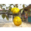 供应木瓜植物形态