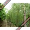 供应垂柳小苗_垂柳是柳树的一种_垂柳为什么受人们的欢迎呢
