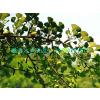 最低价供应攀枝花白果树 巴中白果树 达州白果树 资阳白果树