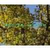 低价供应乐山白果树 自贡白果树 泸州白果树 宜宾白果树