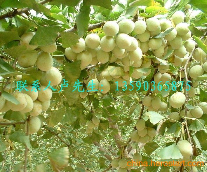 供应西安白果树 咸阳白果树 渭南白果树 延安白果树 安康白果树