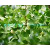 最低价供应宝鸡白果树 汉中白果树 铜川白果树 榆林白果树 商洛白果树