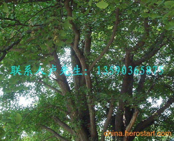 低价供应西安银杏树 咸阳银杏树 渭南银杏树 延安银杏树 安康银杏树