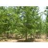 供应北京12公分银杏树,北京银杏树价格,天津银杏树价格