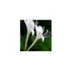 供应金银花提取物 绿原酸5%-98%