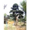 供应造型榆树价格最低在湖南精彩园林苗木场