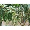 陕西枇杷树、枇杷树丝棉木,陕西各种优质苗木供应商,价格实惠,量大从优