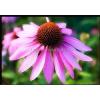 供应紫锥菊提取物、Echinacea、松果菊,紫锥花