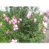 供应园林绿化苗木木槿,丛生木槿,独干木槿,木槿1-3cm