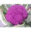 供应紫花菜种子
