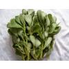 供应马齿苋种子 长寿菜种子