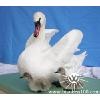 供应白腹锦鸡的分布状况_动物标本