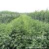 专供:泰安大红袍花椒苗价格最低feflaewafe