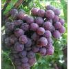 供应山东临朐优质套袋巨峰葡萄