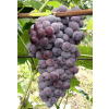 供应潍坊市周围哪里有大片的葡萄园