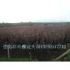 供应红叶樱花6公分工程苗