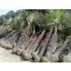 供应棕榈、海桐球、红花继木球、榔榆、朴树