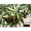 供应樟科山胡椒属黑壳楠种子