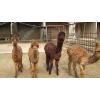 供应羊驼喜欢沙浴五_羊驼养殖