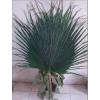 供应保鲜圆形叶片棕榈树棕榈树保鲜保鲜圆形叶片