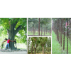 供应2-3年优质皂角树