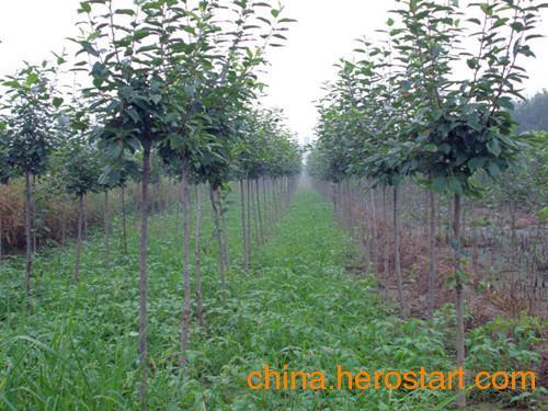 供应直径(1-5厘米)西府海棠