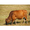 供应优良育肥牛的五种增重剂