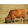 供应育肥牛产后的管理方法