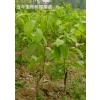 【花椒苗】价格、产品供应,花椒苗厂家批发,大红袍花椒苗