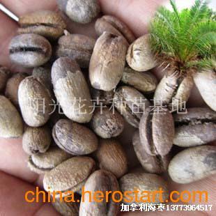 供应加拿利海枣种子名贵緑化苗木种子大量批发国际著名风景树种子