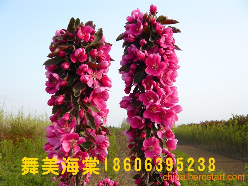 供应舞美海棠,冬红果海棠,芭蕾苹果,垂丝海棠,梨花海棠,木瓜海棠