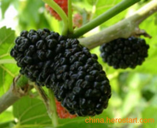 供应第三代黑色水果新秀黑桑树苗
