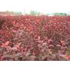 供应种植10亩红叶白蜡东红欧洲白蜡明年致富百万
