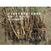 供应黑龙江芦苇种苗|吉林芦苇种苗|辽宁芦苇种苗|东北耐寒芦苇种苗