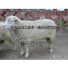 供应品种羔羊养殖、屠宰、加工技术 诚招合作伙伴