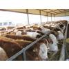 供应山西肉牛场 山西太原肉牛场 山西大型肉牛场