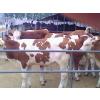 供应山西肉牛养殖场 山西定原肉牛养殖场