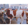 供应山西小牛犊价格_山西太原小牛犊价格