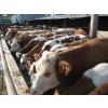 供应山西省肉牛价格