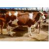 供应山西省肉牛价格小公牛价格 小母牛价格