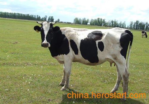 供应天津奶牛的特点