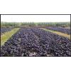 供应紫油菜保健蔬菜种子彩色观赏食用油蔬菜种子