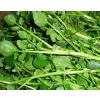 供应豆瓣菜保健蔬菜种子西洋菜种子批发