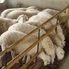 供应众诚湖羊养殖湖羊成品羊11