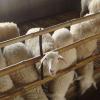 供应众诚湖羊养殖湖羊成品羊22