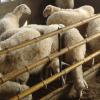供应众诚湖羊养殖湖湖羊种羊33