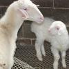 供应众诚湖羊养殖湖湖羊羊羔44