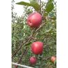 供应红肉苹果