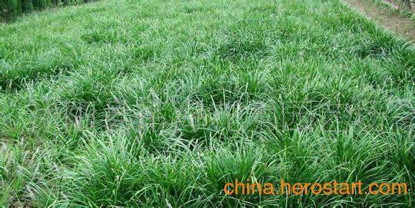 草坪种子价格高羊茅草坪种子草坪产品供应